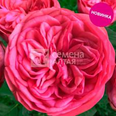 Роза Анданте, премиум 1 шт