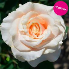 Роза Рикотта,грандифлора