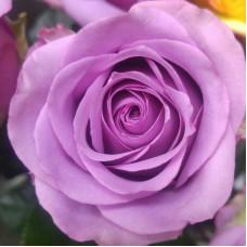Роза Тиара, премиум , чайно-гибридная.
