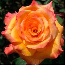 Роза конго, чайно-гибридная