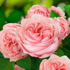 Роза Премиум АУРА, плетистая