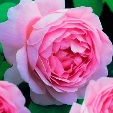 Роза Премиум ПАЛЛАДА