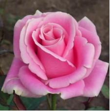 Роза фосфор, чайно-гибридная