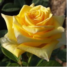 Роза Дежавю, чайно-гибридная