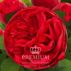 Роза Адажио, премиум 1 шт