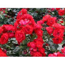 Роза торнадо, флорибунда