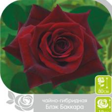 Роза БЛЕК БАККАРА, чайно-гибридная