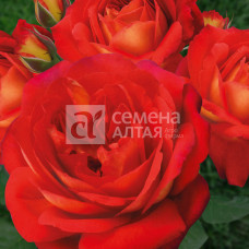 Роза Мадам де Бовуар 1шт. в коробке ( грандифлора)