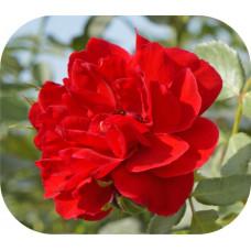 Роза Бельканта 1шт. в коробке (плетистая)