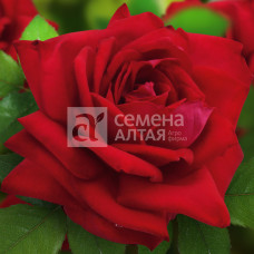 Роза Дюссельдорф 1шт. в коробке ( грандифлора)