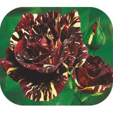Роза Абра-Кадабра 1шт. в коробке ( чайно-гибридная)
