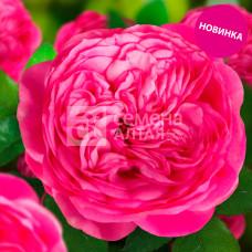 Роза Госпел 1шт. в коробке (чайно-гибридная)