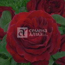 Роза Беби Баккара 1шт. в коробке (чайно-гибридная)