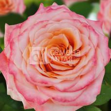 Роза Венеция 1шт. в коробке ( грандифлора)