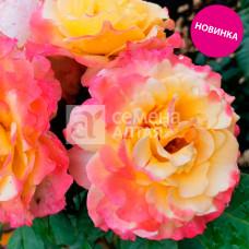 Роза Аппалачи 1шт. в коробке (плетистая канадская роза)
