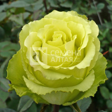Роза Зеленый чай 1шт. в коробке (чайно-гибридная)