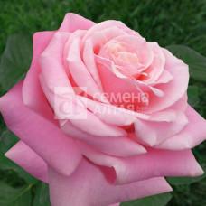 Роза Панама 1шт. в коробке ( чайно-гибридная)