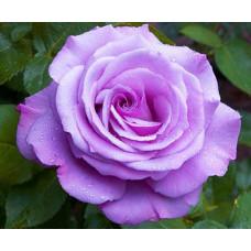 Роза Голубой Нил в коробке 1шт (чайно-гибридная)