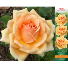Роза Валенсия в коробке 1шт (чайно-гибридная)