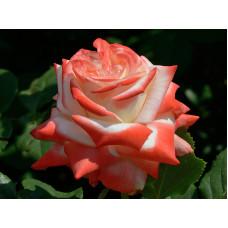 Роза Императрица Фахар в коробке 1шт (чайно-гибридная)