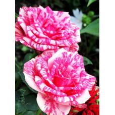 Роза Пинк интуишн 1шт (чайно-гибридная)