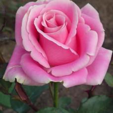 Роза Аква  (чайно-гибридная) в горшке