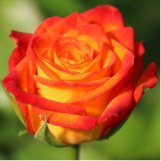 Роза Циркус, в коробке 1шт, (флорибунда)