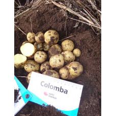 Картофель Коломбо (Коломба). Сетка 2 кг