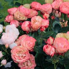 Роза Акрополис, в коробке 1шт, (флорибунда)