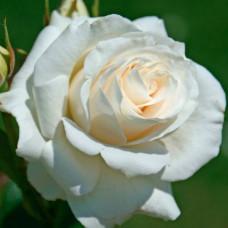 Роза Алиса в коробке 1шт (чайно-гибридная)