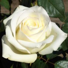 Роза Анастасия в коробке 1шт (чайно-гибридная)