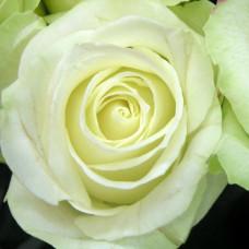 Роза Аваланж 1шт в коробке (чайно-гибридная)