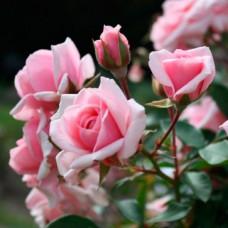 Роза Диадем,  (флорибунда) в горшке