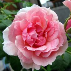 Роза Кир Роял, в коробке 1шт, (плетистая)