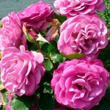 Роза Мелоди парфюм в коробке 1шт (грандифлора)
