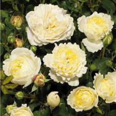 Роза Нина Поулсен, (почвопокровная) в горшке