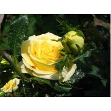 Роза Кронос  (чайно-гибридная) в горшке