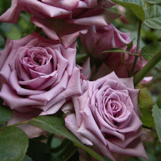 Роза Майнстер Фастнахт в коробке 1шт (чайно-гибридная)