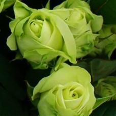 Роза Амандина в коробке 1шт (чайно-гибридная)