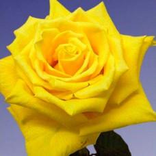 Роза Желтый остров в коробке 1шт (чайно-гибридная)