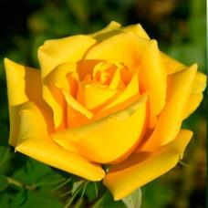 Роза Золотая рыбка в коробке 1шт (чайно-гибридная)